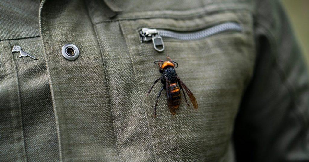 EU informa avistamiento de avispa que puede matar personas